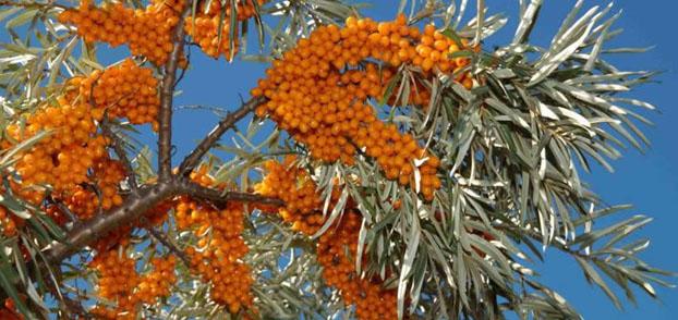 seabuckthorn-tree