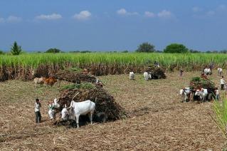 sugarcane-223457_640